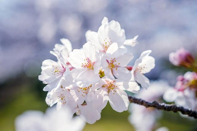 福岡西公園の桜の開花情報
