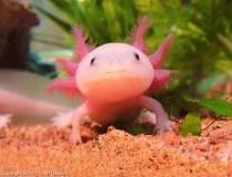 axolotl_timothy004