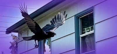Training and Talking with Backyard Crows