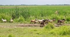 Eh oui ce sont des chèvres. Jamais vu ni viande ni lait de chèvre à Cuba. Mystère.