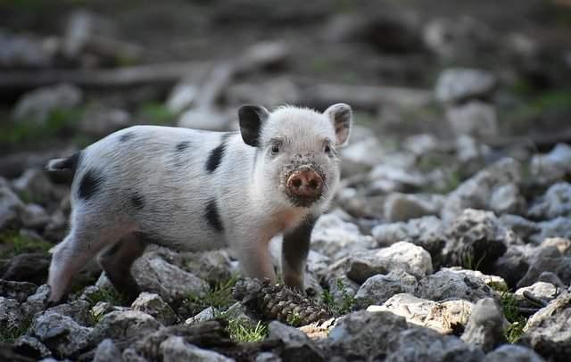 Mini cerdo