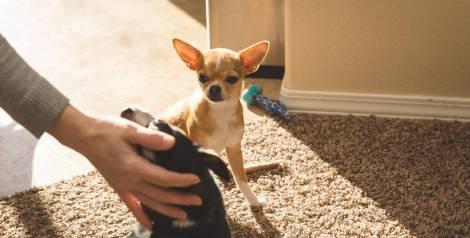 ¿Pueden sufrir celos los perros?