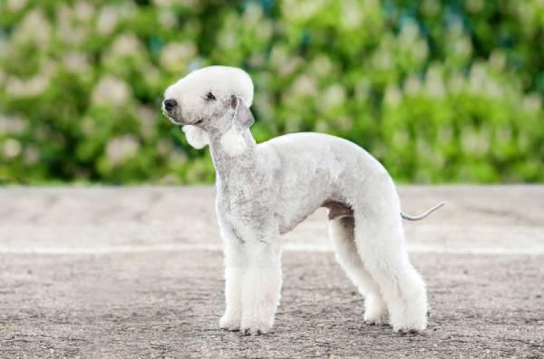 razas de perro curiosas - bedlington terrier
