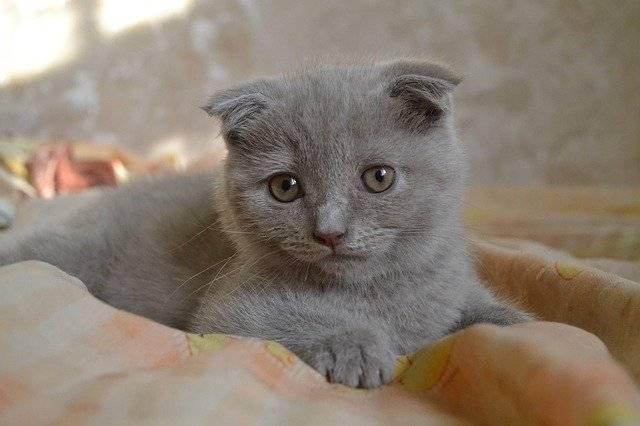 razas curiosas gatos - scottish fold
