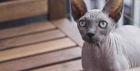 Las 5 razas de gato más raras y curiosas