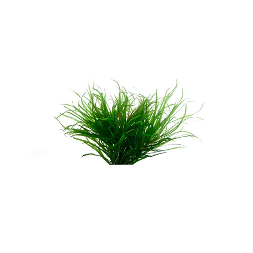 Blyxa Japonica - Dwarf Asian Grass