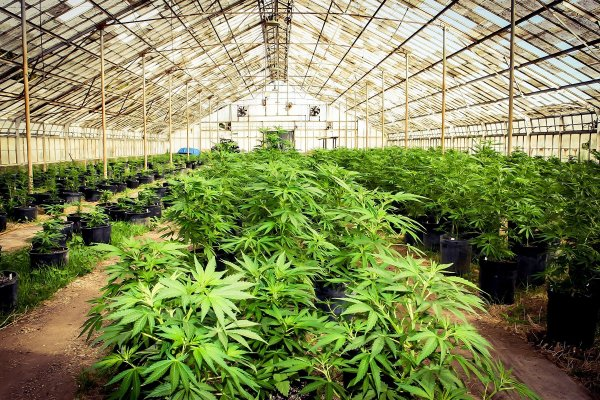 Serene Farms 4 Online Dispensary