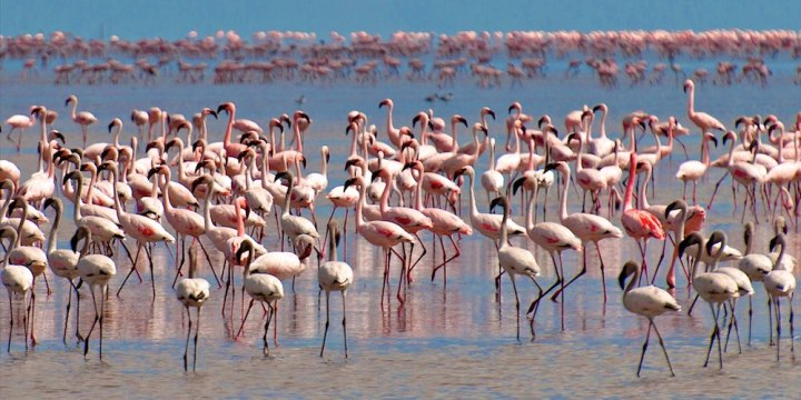 Flamingos in Lake Manyara
