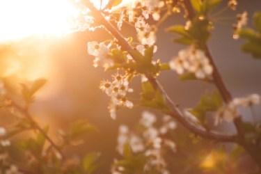 Sun Illuminates Cheery Blossoms