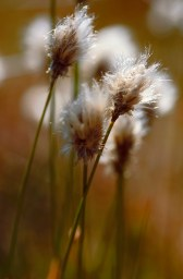 Bog Cotton grass