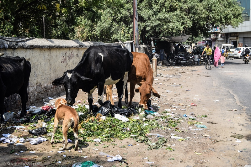 serial-travelers-india-jaipur-cow-vache-dechet-garbage