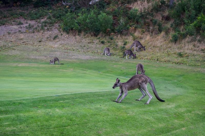 serial-travelers-australie-great-ocean-road-anglesea-golf-kangourous