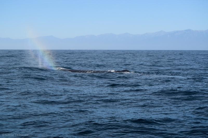 serial-travelers-nouvelle-zelande-kaikoura-whale-watch-cachalot-arc-en-ciel-2