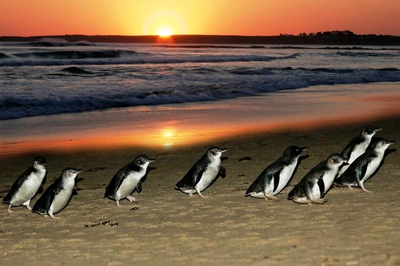 Phillip_Island_Penguin_Parade_at_Sunset