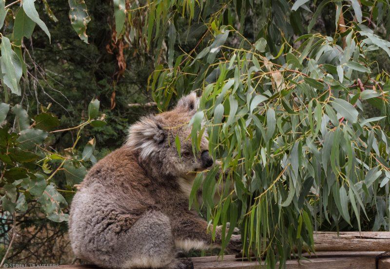 serial-travelers-australie-roadtrip-van-phillips-island-koala-conservation-center-8 (Copier)