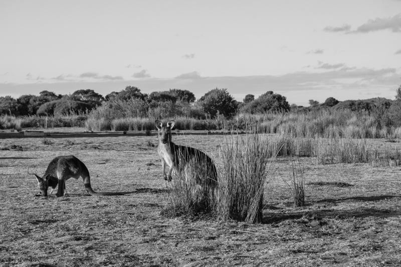 serial-travelers-australie-wilsons-promontory-national-park-prom-wildlife-walk-kangaroos5