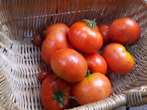 Season's first batch, tomatoes harvest
