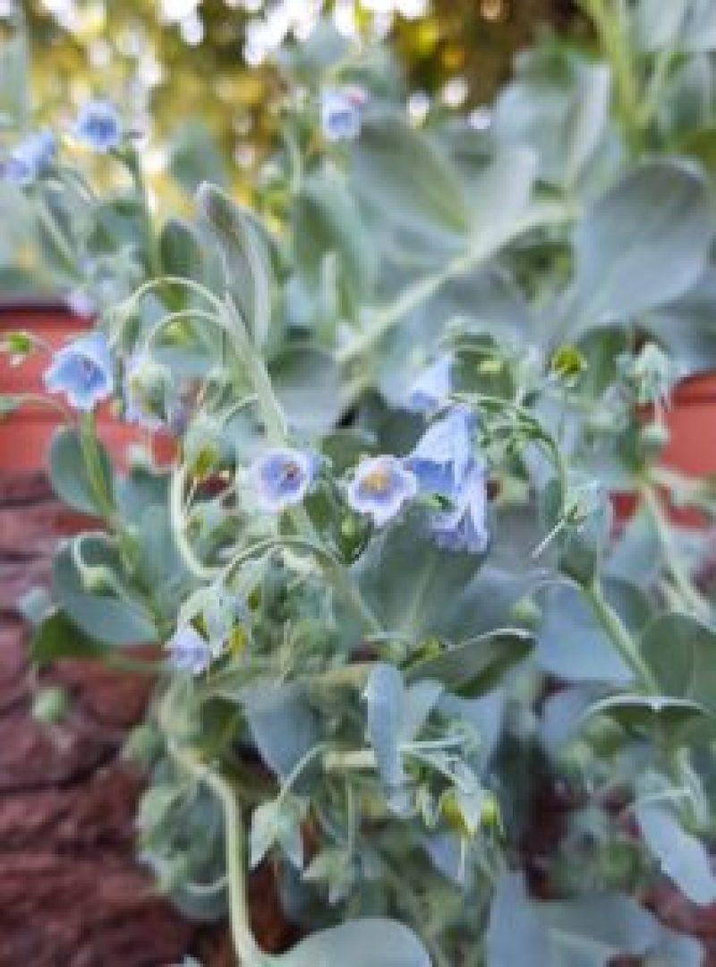 Fleurs-Huitre vegetale-mertensia-maritima-a la serre o delice de biganos