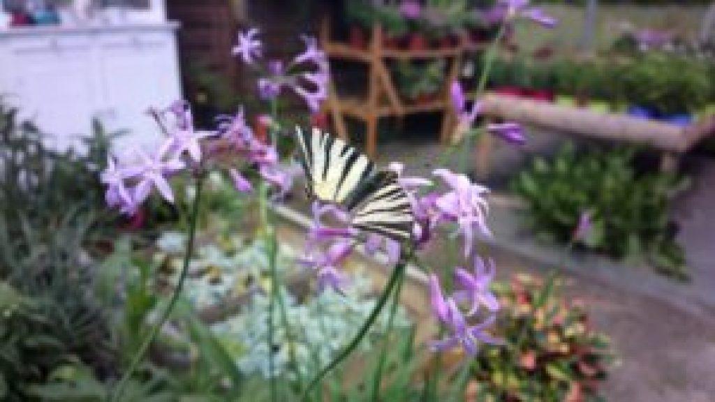 Papillon flambé sur fleur de Tulbaghia