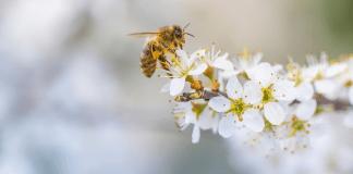 8 Bahan Alami Bantu Atasi Sengatan Lebah