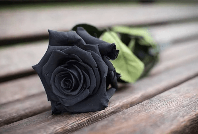 gambar bunga mawar hitam