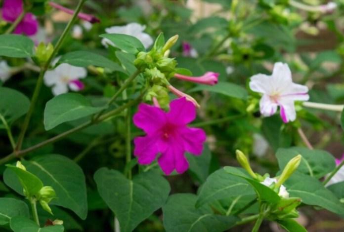 5 Jenis Bunga yang Mekar dengan Waktu Singkat