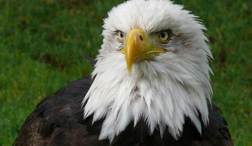 american eagle color photo front piercing gaze and beak natural green background