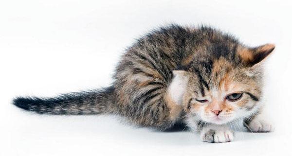 کک روی یک گربه