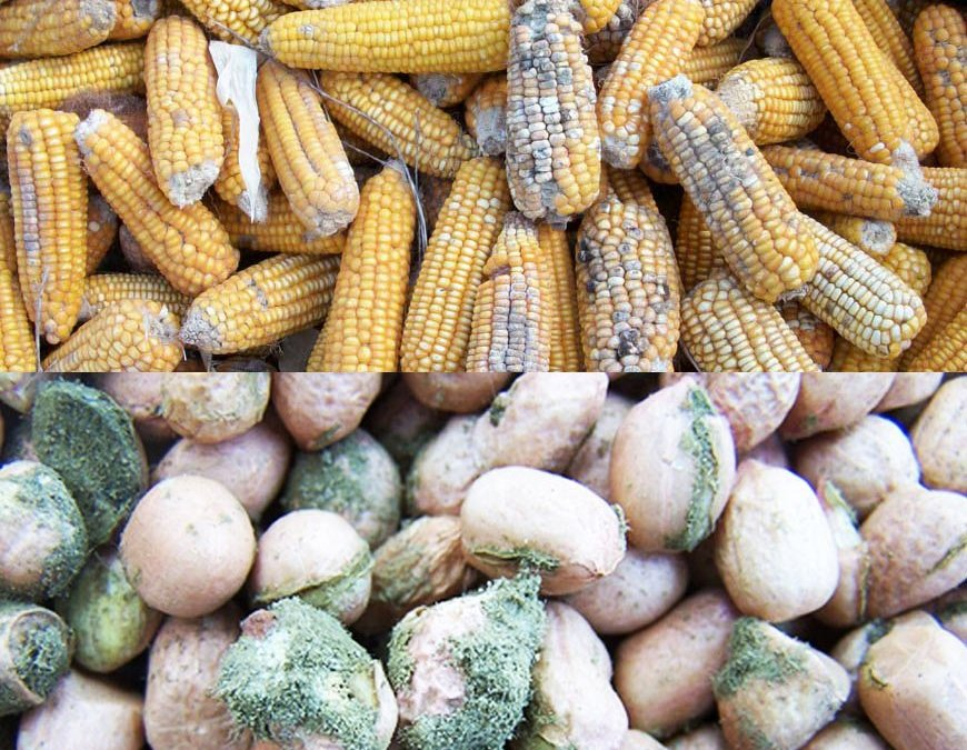 Causes Of Post-harvest Losses In Grains