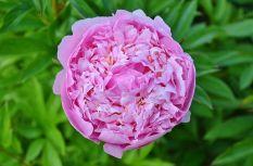 La rose de Damas est ses délicats pétales