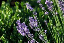 lavender-1310877_960_720