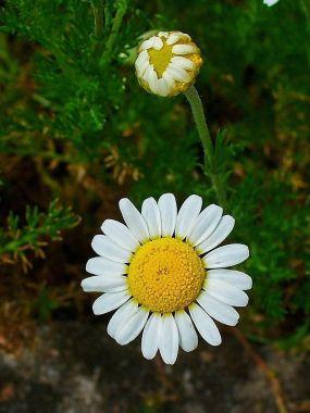 La Camomille, le soleil fait fleur