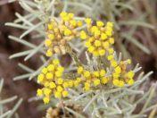 l'immortelle, une fleur héliophile