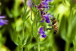 L'hysope, aimée des hommes... et des abeilles