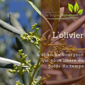 Fiche solution-phyto #21 – Bourgeon d'olivier