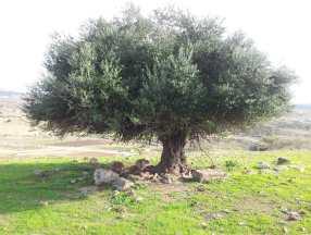 Un olivier à l'allure d'immortel