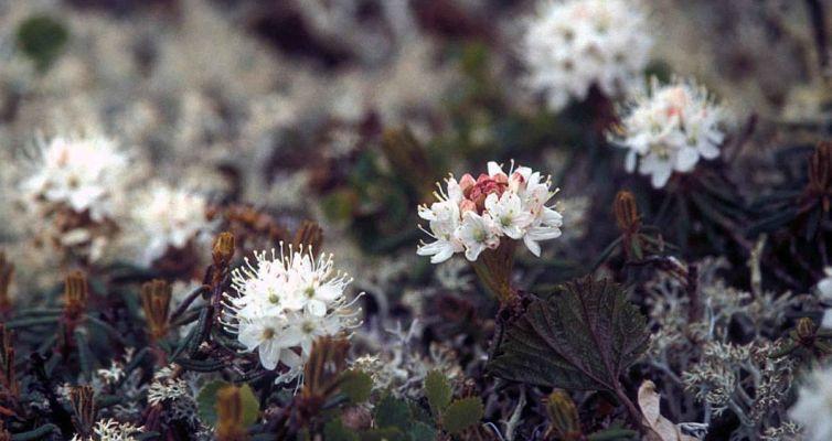 L'hydrolat de Lédon du Groenland pour détoxiquerL'hydrolat de Lédon du Groenland pour détoxiquer