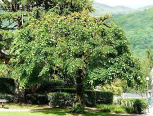 Respecté, le Tilleul est un arbre sage