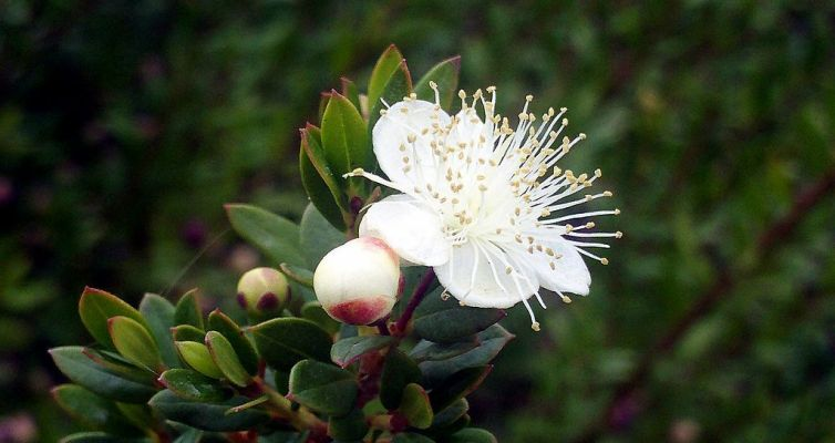La fleur du myrte, l'exubérance
