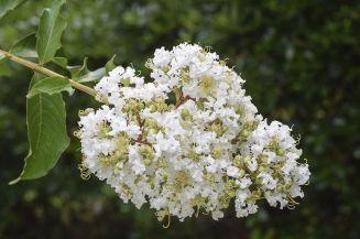 Les fleurs du myrte