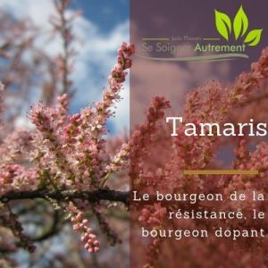 Fiche solution-phyto #47 – Bourgeon de Tamaris