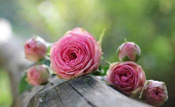 L'hydrolat de rose, l'étenelle