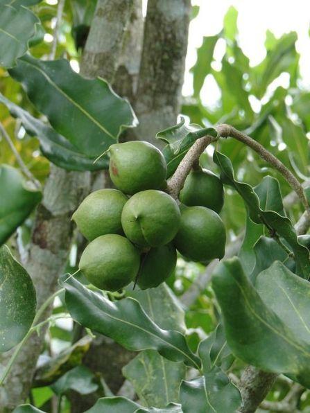 L'huile de macadamia possède en elle-même des propriétés anti-congestionnantes