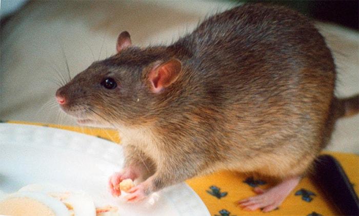 Чем отличается мышь от крысы: основные признаки. Чем отличается мышь от крысы