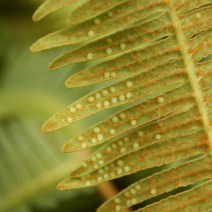 Dicranopsis linearis