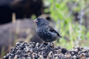One of Darwin's finches at Las Grietas