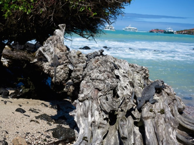 Marine iguanas in Puerto Ayora