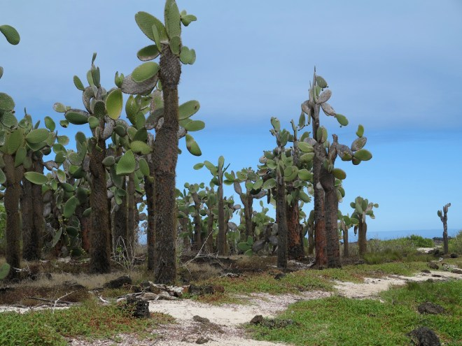 Cactus forest near Tortuga Bay