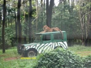 singa diatas mobil