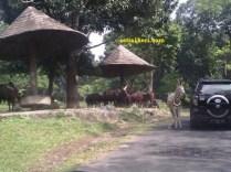 zebra di taman safari